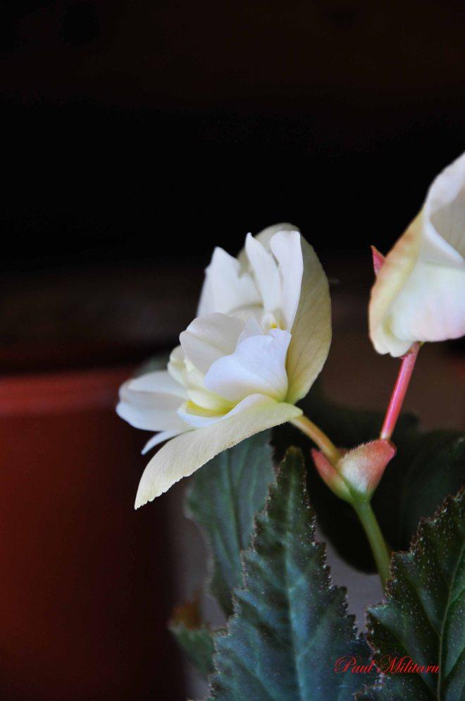 begonia 9